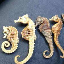 Venden caballitos de mar, podrían extinguirse pronto